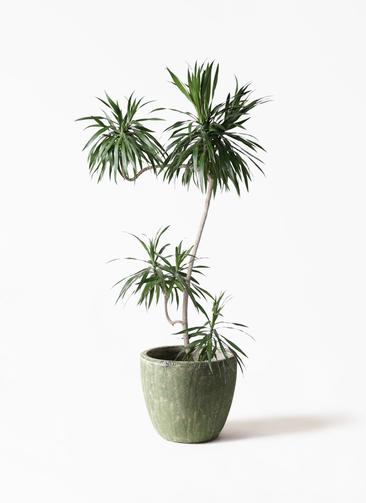 観葉植物 ドラセナ ナビー 8号 L字 アビスソニアミドル 緑 付き