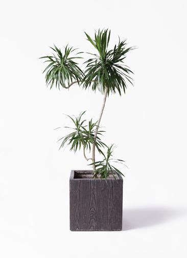 観葉植物 ドラセナ ナビー 8号 L字 ベータ キューブプランター ウッド 茶 付き