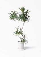 観葉植物 ドラセナ ナビー 8号 L字 プラスチック鉢
