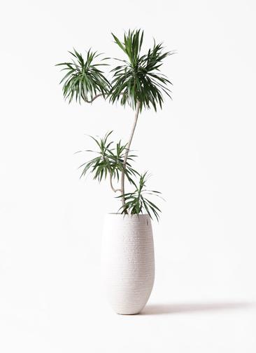 観葉植物 ドラセナ ナビー 8号 L字 フォンティーヌトール 白 付き