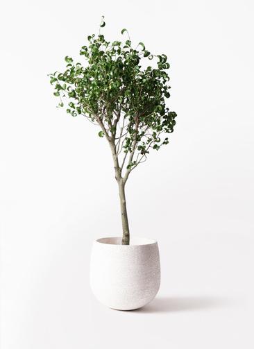 観葉植物 フィカス ベンジャミン 8号 シタシオン エコストーンwhite 付き
