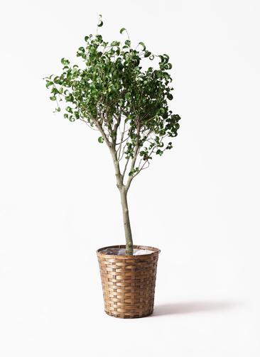 観葉植物 フィカス ベンジャミン 8号 シタシオン 竹バスケット 付き