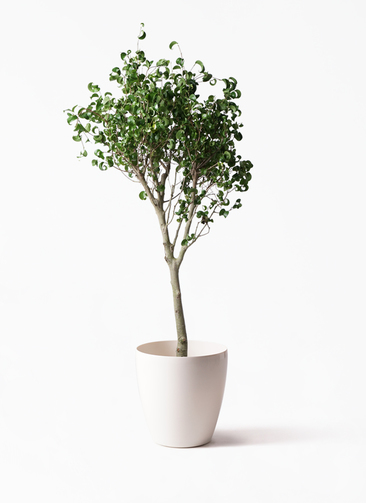 観葉植物 フィカス ベンジャミン 8号 シタシオン ラスターポット 付き
