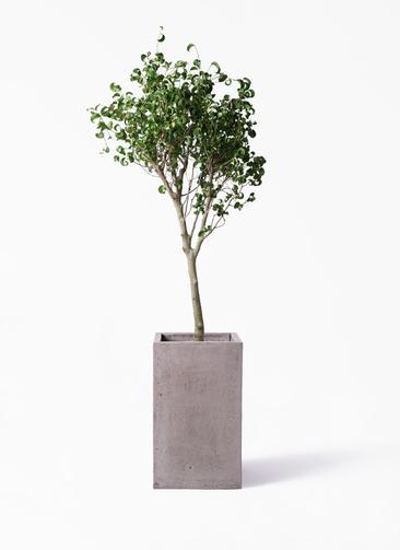 観葉植物 フィカス ベンジャミン 8号 シタシオン セドナロング グレイ 付き