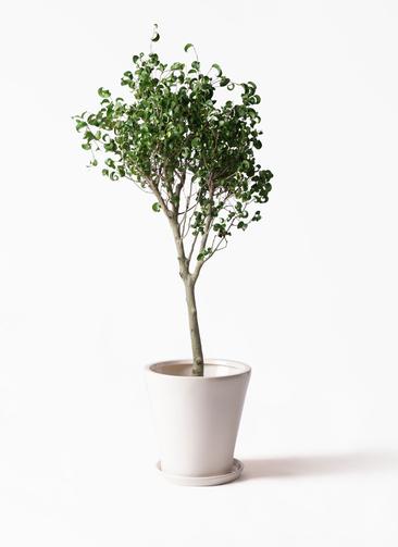 観葉植物 フィカス ベンジャミン 8号 シタシオン サブリナ 白 付き