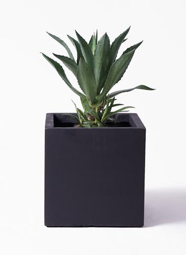 観葉植物 アオノリュウゼツラン 8号 ベータ キューブプランター 黒 付き