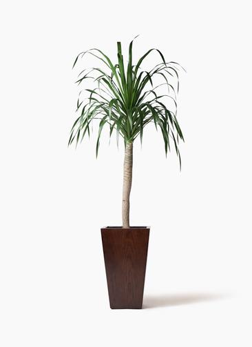 観葉植物 ドラセナ ドラコ 8号 MOKU スクエア 付き