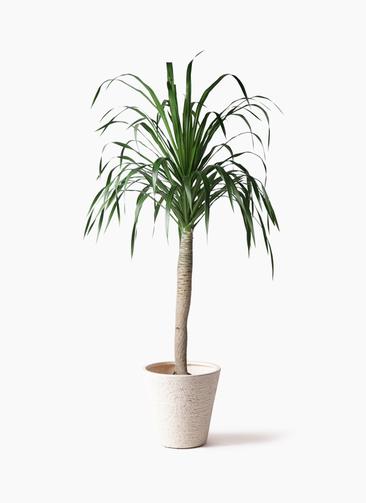 観葉植物 ドラセナ ドラコ 8号 ビアスソリッド 白 付き