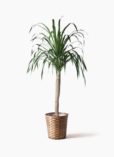 観葉植物 ドラセナ ドラコ 8号 竹バスケット 付き