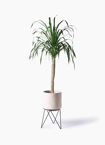 観葉植物 ドラセナ ドラコ 8号 ビトロ エンデカ クリーム アイアンポットスタンド 付き