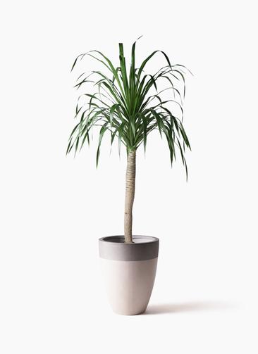 観葉植物 ドラセナ ドラコ 8号 ファイバーストーンカプリ サンディホワイト 付き