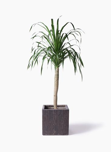観葉植物 ドラセナ ドラコ 8号 ベータ キューブプランター ウッド 茶 付き