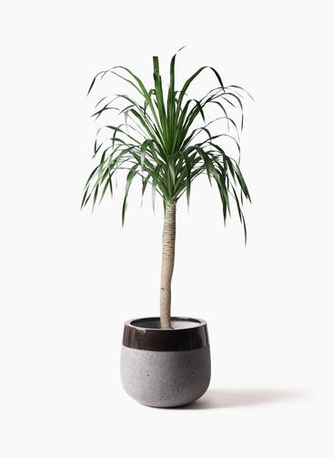 観葉植物 ドラセナ ドラコ 8号 ファイバーストーンタウルス 黒 付き