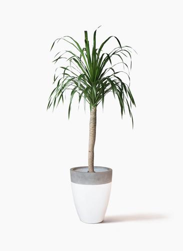 観葉植物 ドラセナ ドラコ 8号 ファイバーストーンカプリ 白 付き