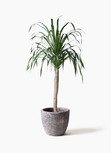 観葉植物 ドラセナ ドラコ 8号 アビスソニアミドル 灰 付き