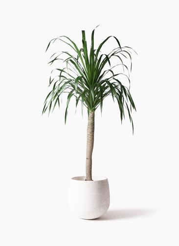観葉植物 ドラセナ ドラコ 8号 エコストーンwhite 付き