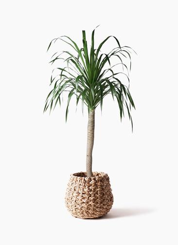 観葉植物 ドラセナ ドラコ 8号 ラッシュバスケット Natural 付き