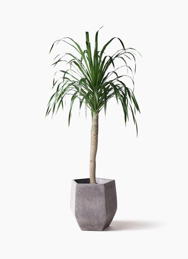 観葉植物 ドラセナ ドラコ 8号 ファイバークレイ Gray 付き