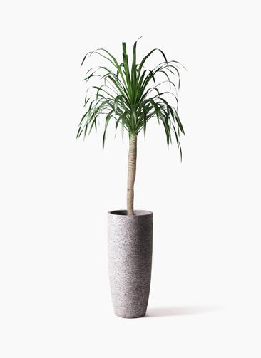観葉植物 ドラセナ ドラコ 8号 エコストーントールタイプ Gray 付き