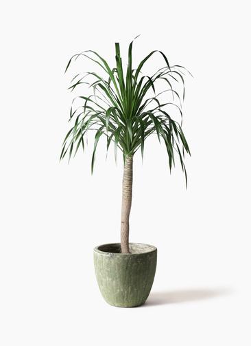 観葉植物 ドラセナ ドラコ 8号 アビスソニアミドル 緑 付き