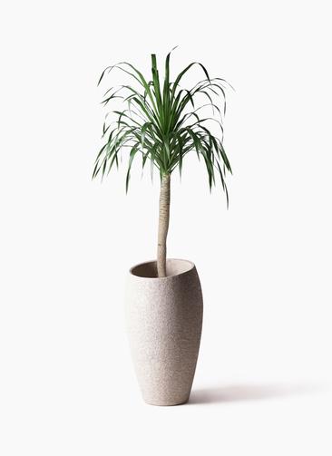 観葉植物 ドラセナ ドラコ 8号 エコストーントールタイプ Light Gray 付き