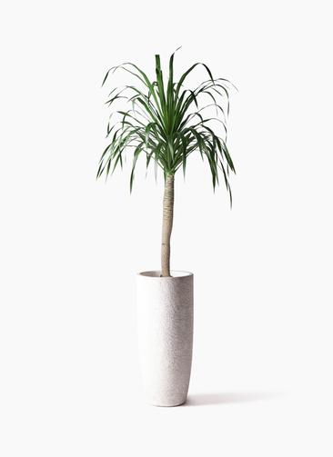 観葉植物 ドラセナ ドラコ 8号 エコストーントールタイプ white 付き