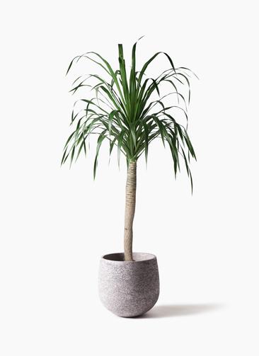 観葉植物 ドラセナ ドラコ 8号 エコストーンGray 付き