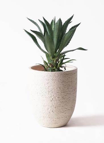 観葉植物 アガベ 8号 アメリカーナ ビアスアルトエッグ 白 付き