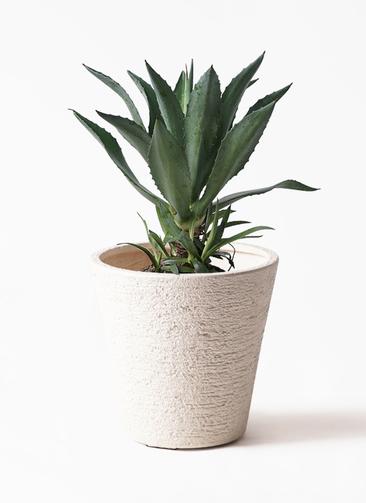 観葉植物 アオノリュウゼツラン 8号 ビアスソリッド 白 付き