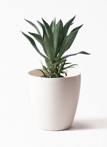観葉植物 アガベ 8号 アメリカーナ ラスターポット 付き