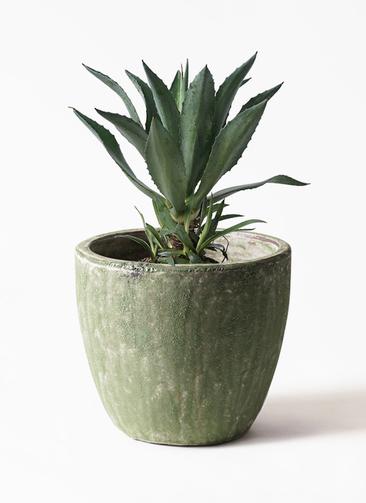 観葉植物 アオノリュウゼツラン 8号 アビスソニアミドル 緑 付き