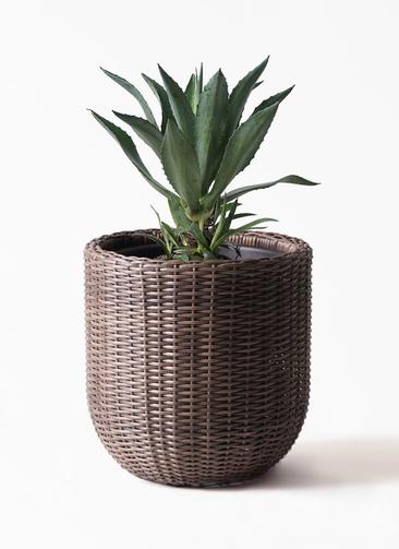 観葉植物 アガベ 8号 アメリカーナ ウィッカーポットエッグ 茶 付き