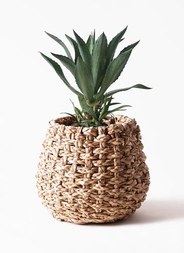 観葉植物 アガベ 8号 アメリカーナ ラッシュバスケット Natural 付き