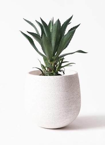 観葉植物 アガベ 8号 アメリカーナ エコストーンwhite 付き