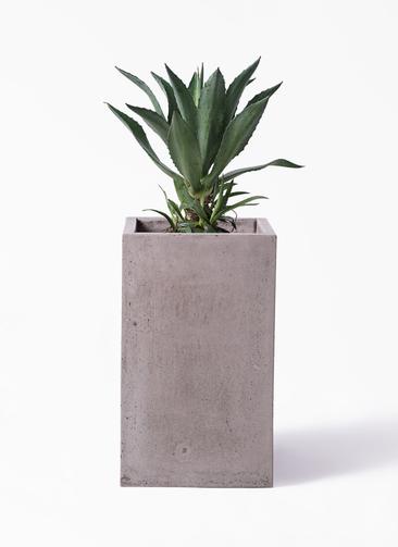 観葉植物 アガベ 8号 アメリカーナ セドナロング グレイ 付き