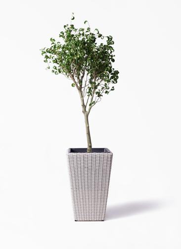 観葉植物 フィカス ベンジャミン 8号 シタシオン ウィッカーポット スクエアロング OT 白 付き