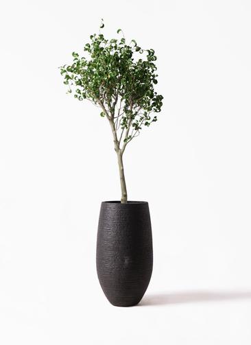 観葉植物 フィカス ベンジャミン 8号 シタシオン フォンティーヌトール 黒 付き