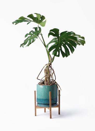 観葉植物 モンステラ 8号 根上り ビトロ エンデガ ターコイズ ウッドポットスタンド付き