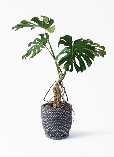 観葉植物 モンステラ 8号 根上り ハイブミドル ブラック 付き