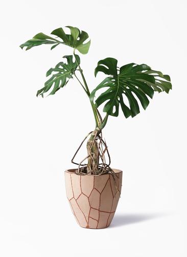 観葉植物 モンステラ 8号 根上り ウィスク 付き