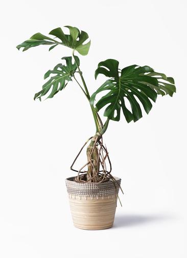 観葉植物 モンステラ 8号 根上り アルマ コニック 白 付き