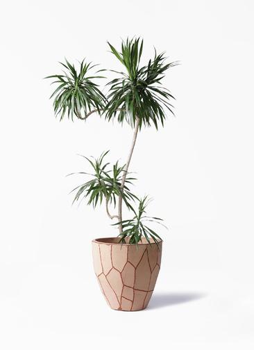 観葉植物 ドラセナ ナビー 8号 L字 ウィスク 付き