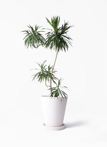 観葉植物 ドラセナ ナビー 8号 L字 パウダーストーン white 付き