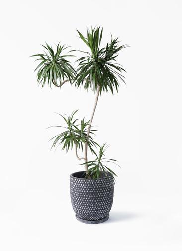 観葉植物 ドラセナ ナビー 8号 L字 ハイブミドル ブラック 付き