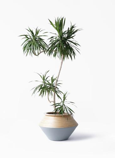 観葉植物 ドラセナ ナビー 8号 L字 アルマジャー グレー