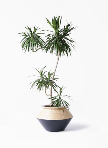 観葉植物 ドラセナ ナビー 8号 L字 アルマジャー 黒