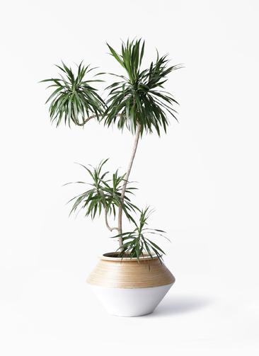 観葉植物 ドラセナ ナビー 8号 L字 アルマジャー 白