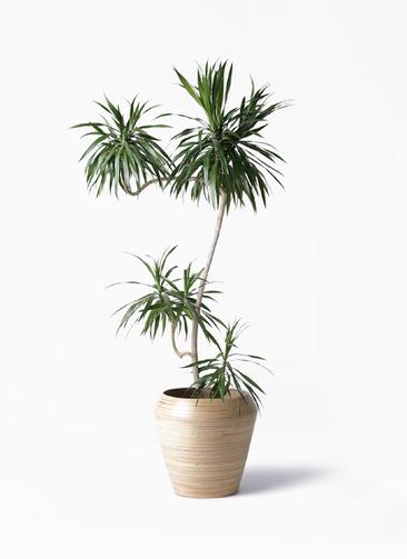 観葉植物 ドラセナ ナビー 8号 L字 アルマ ミドル 付き