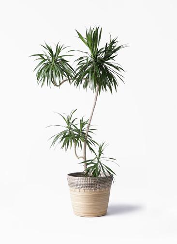観葉植物 ドラセナ ナビー 8号 L字 アルマ コニック 白 付き