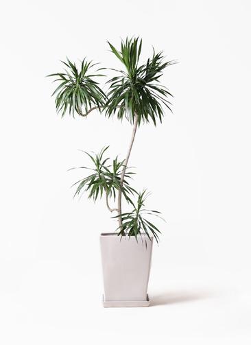 観葉植物 ドラセナ ナビー 8号 L字 LO スクエア 付き